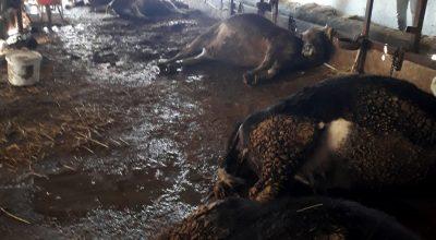 Kırşehir'de elektrik akımına kapılan 9 büyükbaş hayvan telef oldu