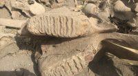 Ekim için sürülen tarlada fil fosili bulundu