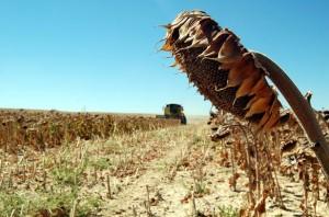 Kırşehirli çiftçiler yağlık ayçiçeğine yöneldi