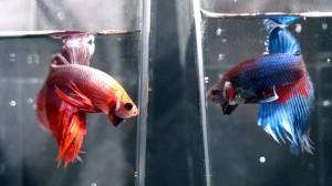 Strese karşı akvaryum balığı
