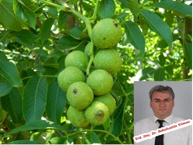 Türkiye'de ve Kırşehir'de Kaman Cevizi